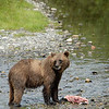 A female grizzly with a fresh salmon catch along a creek in Alaska