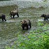 A grizzly bear sow and her three cubs search for salmon in a shallow river