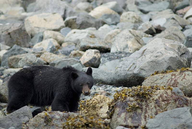 black bear walking across coastal rocks - Stock Photo by Nature Photographer Christina Craft