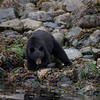 Black bear photograph - Stock Photo by Nature Photographer Christina Craft