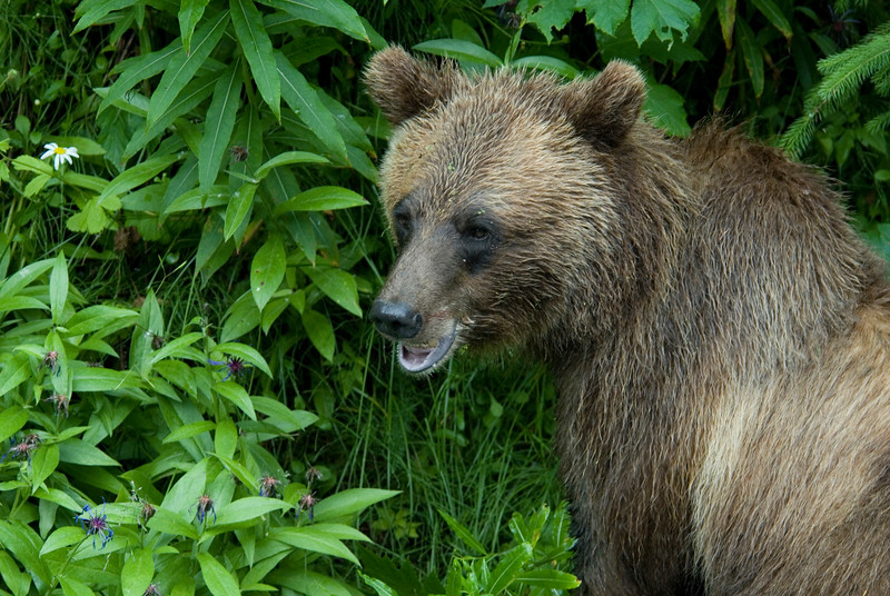 A closeup of a grizzly bear #2