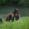 A grizzly bear family with three cubs and a fresh salmon catch