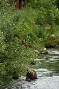 A vertical photograph of a grizzly bear along a riverbank