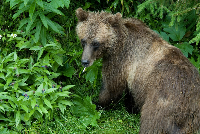 A closeup of a grizzly bear #3
