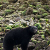 Black bear hunting for crabs in Clayoquot sound near tofino in Vancouver Island british columbia b.c.