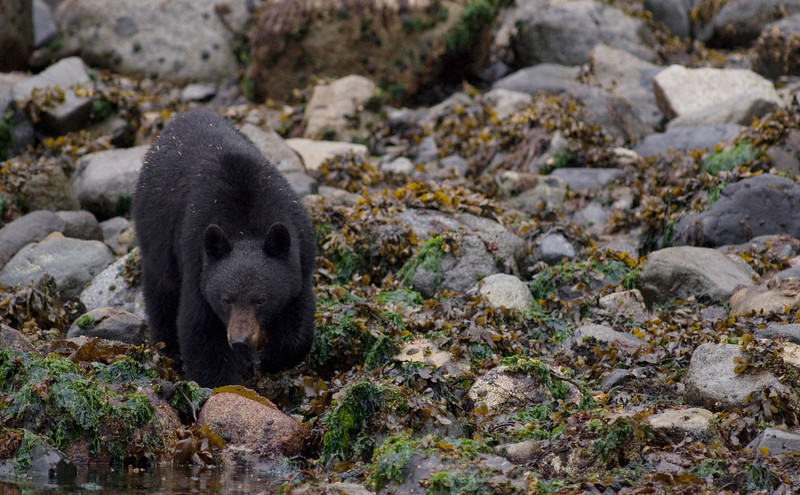 Photograph of a black bear - Stock Photo by Nature Photographer Christina Craft