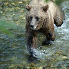 A stock photograph of a grizzly bear running in a narrow creek during salmon season. Images of grizzlies and Alaskan Brown Bear cubs eating salmon.