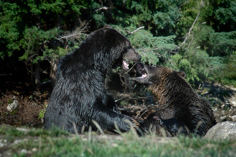 Grizzly bear fight  Professional Wildlife Photography by Christina Craft of the Nature Stock Photography Library
