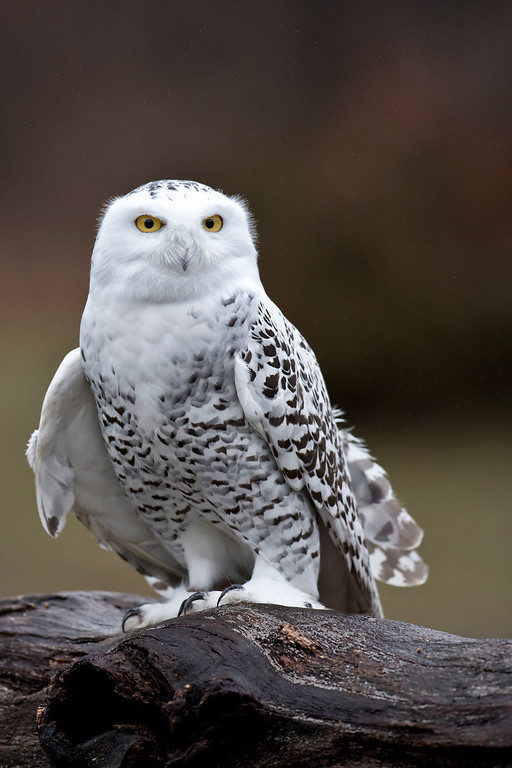 IMAGE: https://photos.smugmug.com/Animals/Nature-and-Animals/Howell-Nature-Center/i-c8tWh27/0/e5630774/XL/Snow%20Owl2-XL.jpg
