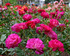 "1160-Pink, purple and red flowers (roses) growing in New Zealand <a href=""http://www.cwcphotography.com/gallery/1199387"">(8x10)</a>"