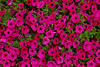"<font color=""blue""><b>NEW!</b></font> 1400-Bright pink and red flowers <a href=""http://www.cwcphotography.com/gallery/1199387"">(8x12)</a>"