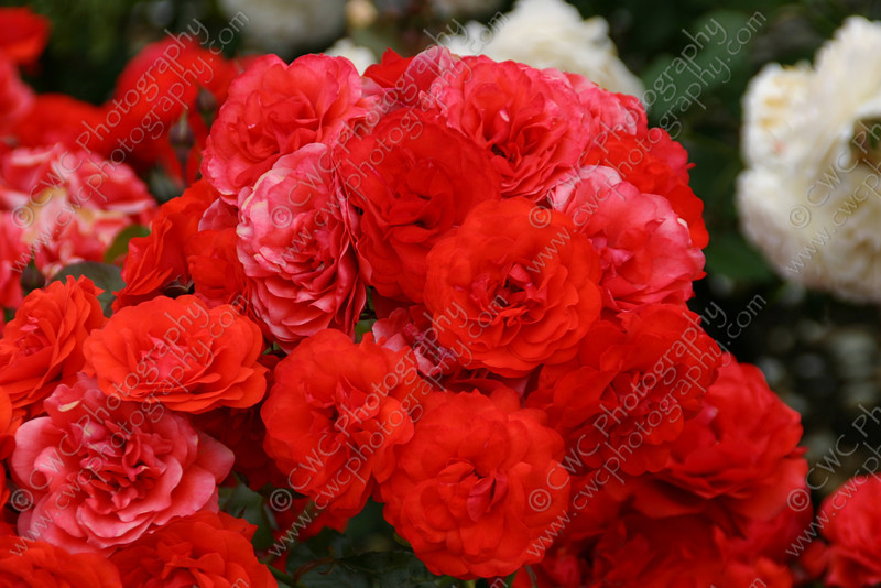 """1080-Red flowers (roses) growing in New Zealand <a href=""""http://www.cwcphotography.com/gallery/1199387"""">(8x12)</a>"""