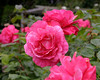 1020-Pink flowers (roses) from New Zealand (8x10)