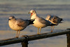 "1270-Birds (seagulls) near the East River in New York City <a href=""http://www.cwcphotography.com/gallery/1199387"">(8x12)</a>"