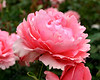 "1220-Pink flowers (roses) growing in New Zealand <a href=""http://www.cwcphotography.com/gallery/1199387"">(8x10)</a>"