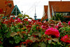 "1250-The Sky Tower peeks its head above the flowers (roses) in Auckland, New Zealand <a href=""http://www.cwcphotography.com/gallery/1199387"">(8x12)</a>"