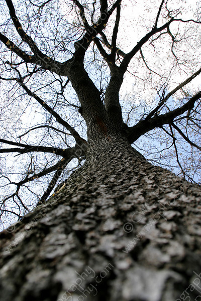 "1290-Looking up an oak tree and its large branches <a href=""http://www.cwcphotography.com/gallery/1199387"">(8x12)</a>"