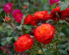 "1170-Red flowers (roses) growing in New Zealand <a href=""http://www.cwcphotography.com/gallery/1199387"">(8x10)</a>"