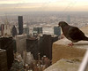 "1100-Pigeon admiring the Chrysler Building and other skyscrapers of New York City <a href=""http://www.cwcphotography.com/gallery/1199387"">(8x10)</a>"