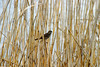 "<font color=""blue""><b>NEW!</b></font> 1390-A bird rests among the reeds <a href=""http://www.cwcphotography.com/gallery/1199387"">(8x12)</a>"