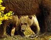 Grizzly cub playing  Peek a Booo