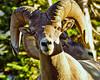 Rams a la Logan Pass, GNP, Montana