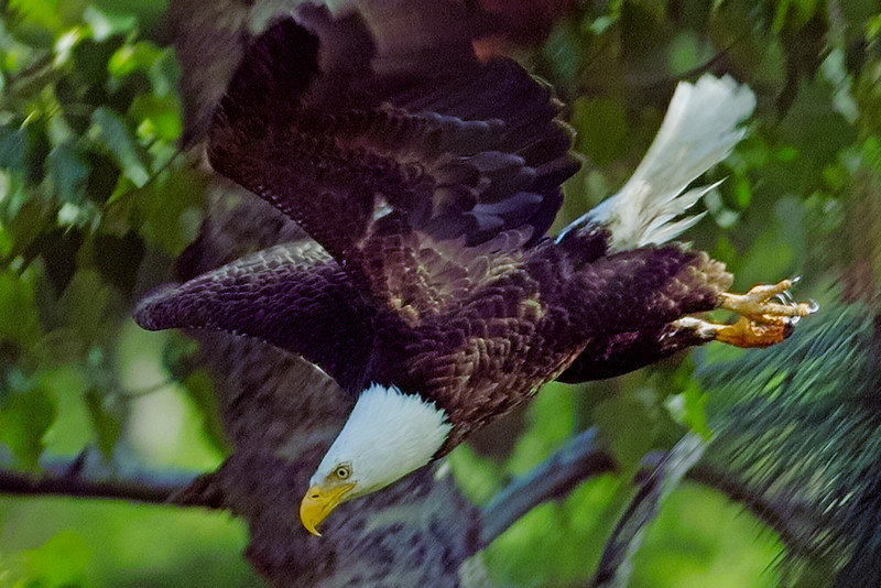 Eagle in Power Dive