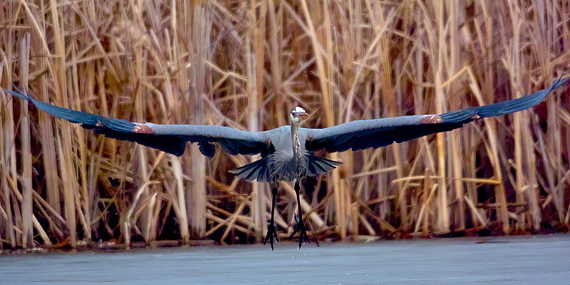 The UNBELIEVEABLY INCREDIBLE WING SPAN!!  It was about 100 yards away.