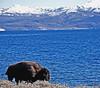 Buff on Yellowstone Lake in guess where NP.