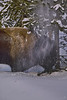 Bull knocking the snow out of the tree and getting a snow shower in YNP