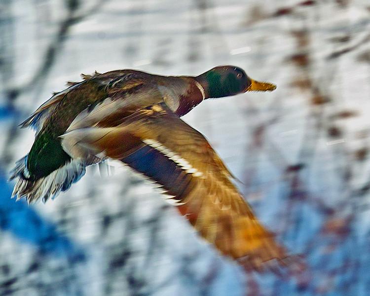 Ruffled feathered Mallard