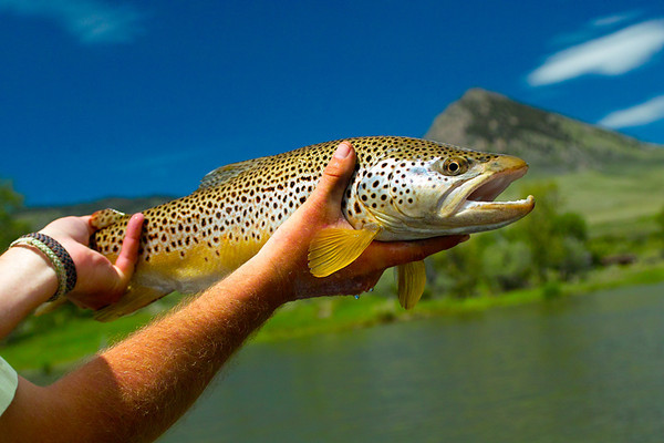 """Nice, imho,  Brownie taken from the MO this june, 2011.  About 19"""""""