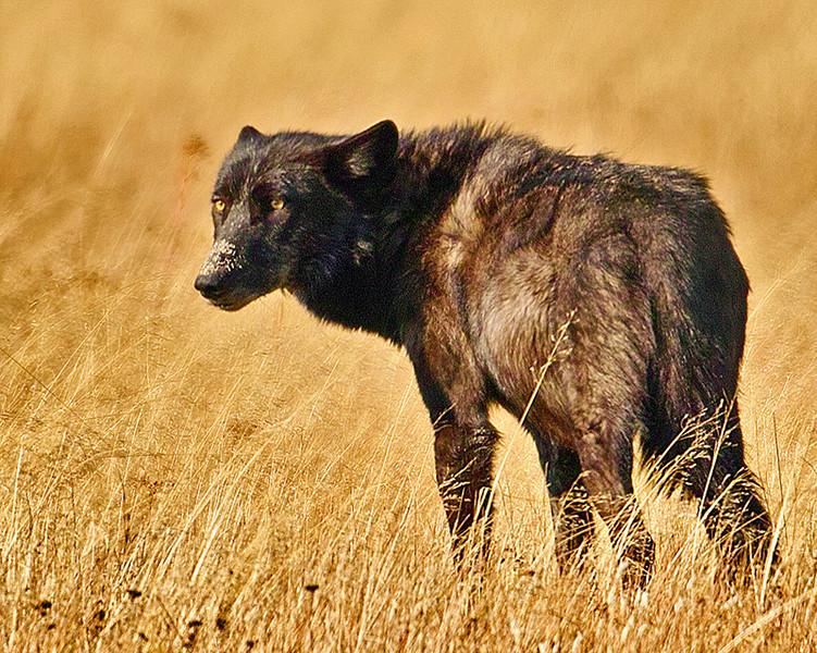 Summer of 2012 wolf in Gibbon Meadows, YNP