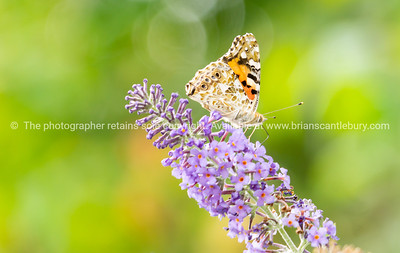 Painted lady butterfly,