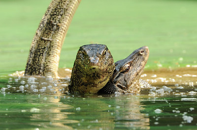 Malayan water Monitor pair mating.