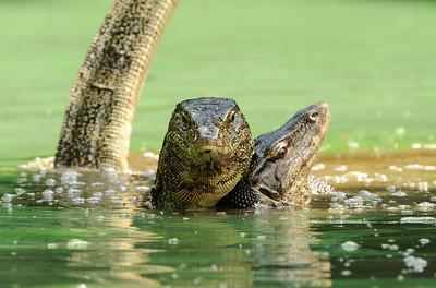 Malayan water Monitor pair mating.