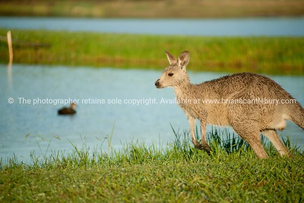 Kangaroo at edge of pond or dam.