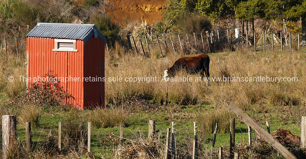 Little red Shed and cow