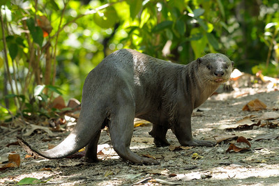 Smooth Otter.