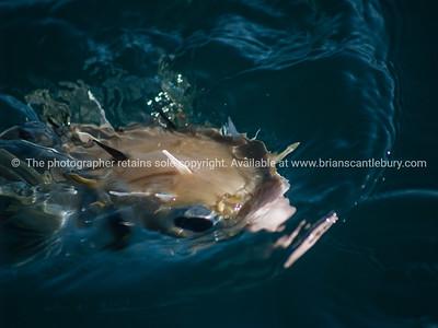 Caught pufferfish