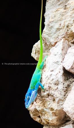 Blue headed Anole Lizard in Cuba.