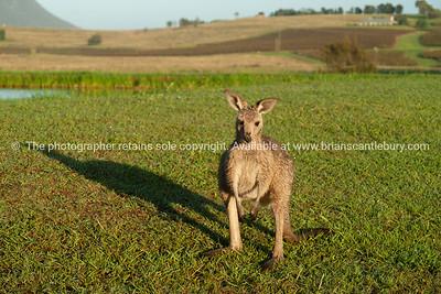 Kangaroo, me and my shadow.