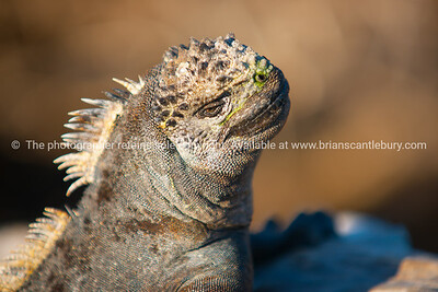 Wildlife, landforms & landscapes of the Galapagos Islands.  Marine iguana gathering.  The Marine Iguana (Amblyrhynchus cristatus) is an iguana found only on the Galápagos Islands   Photos, prints & downloads