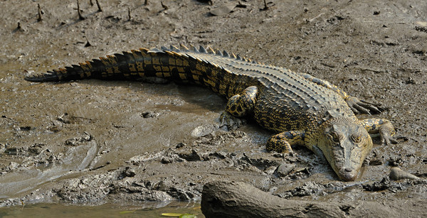 Salt water crocodile. Sungei Buloh Wetland Reserve.