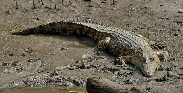 Salt water crocodile. Sungei Buloh Wetland Reserve.