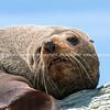 New Zealand Fur seal basking in warmth on rocky coastline ledge.