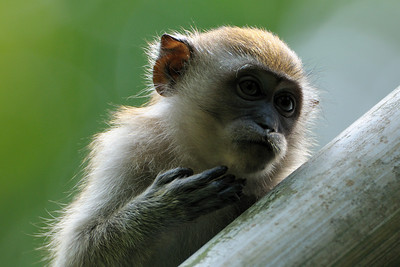 Long Tailed Macaque chin scratch.
