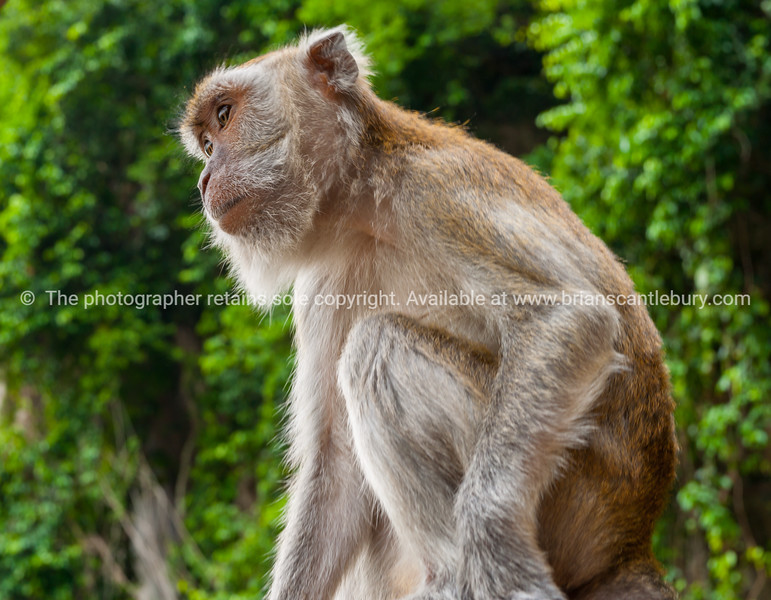 Long tialed macaque monkey sitting looking pensively ahead.