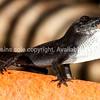 Black Anole Lizard in Cuba.