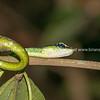 Venomous pit viper in Borneo rainforest